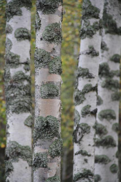 Finnische Birke: Reihe Birken im Herbst ©Foto: Tarja Prüss | Tarjas Blog - Reiseblog Finnland