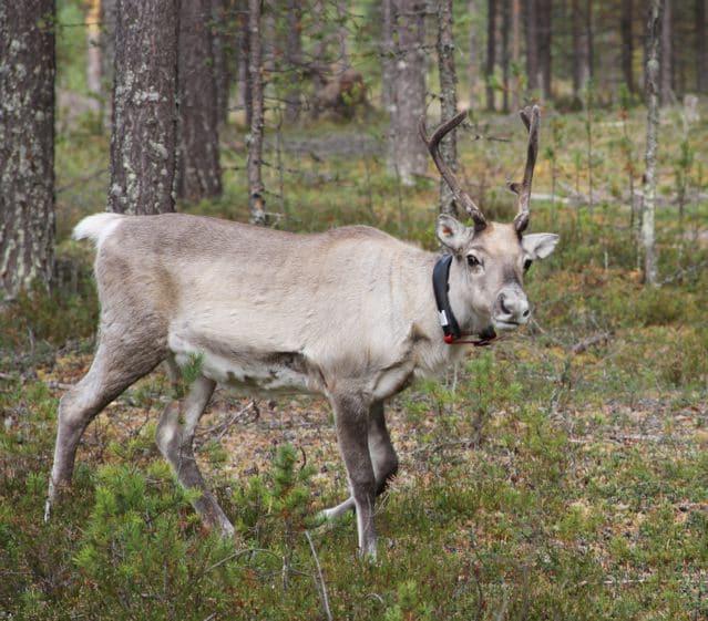 Junges Rentier im Wald - 2013 - Finnland © Tarja Prüss