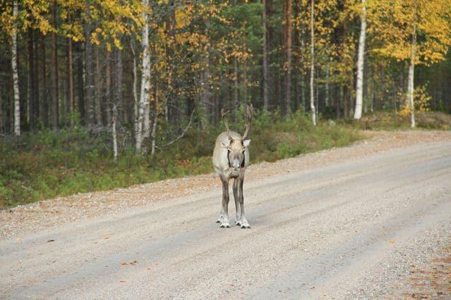 Junges Rentier auf Straße - Finnland © Tarja Prüss