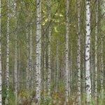 Finnland: Birkenwald (© Tarja Prüss)