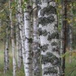 Finnische Birken ©Foto: Tarja Prüss | Tarjas Blog - Reiseblog Finnland