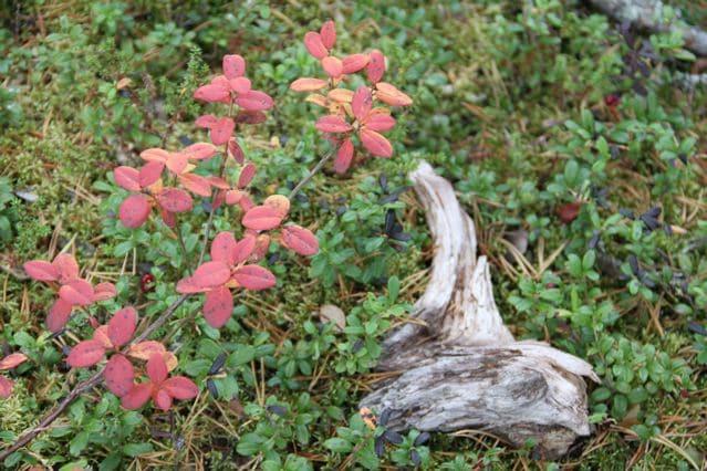 Rot verfärbte Blätter am Waldboden - Inari Finnland © Tarja Prüss | Tarjas Blog - Alles über Finnland