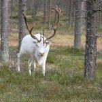 Rentier im Wald - 2013 - Finnland © Tarja Prüss