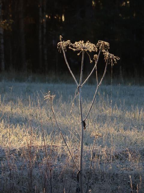 Vorboten des Winters: Frost in Haukipudas- gefrorene Gräser ©Foto: Tarja Prüss   Tarjas Blog - Alles über Finnland DSC02653