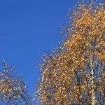 Gelb gefärbte Birken im Herbst vor blauem Himmel ©Tarja Prüss