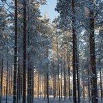 Winterwunderland Finnland: Verschneite Bäume © Tarja Prüss   Tarjas Blog - Alles über Finnland