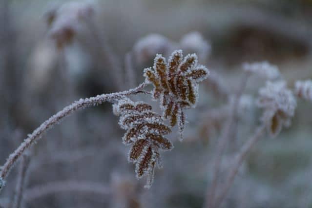 frostblume Blumen Frost ©Foto: Tarja Prüss   Tarjas Blog - Alles über Finnland
