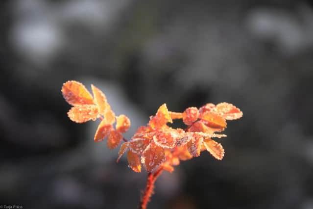 Gefrorene rote Blätter © Tarja Prüss