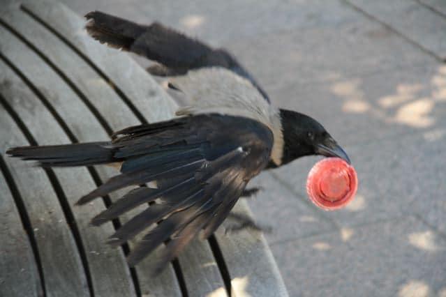 guess who... Vögel in Helsinki: Krähe ©Foto: Tarja Prüss | Tarjas Blog - Alles über Finnland