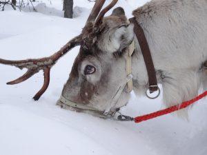 Finnland / Lappland: Rentier hält Schnauze in den Schnee (copyright: Tarja Prüss)