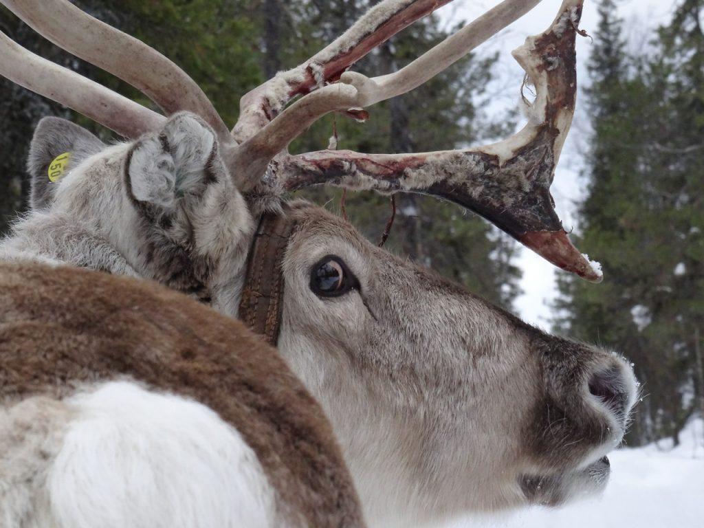 Finnland / Lappland: Rentier schaut aufmerksam in Kamera, Winter (copyright: Tarja Prüss)