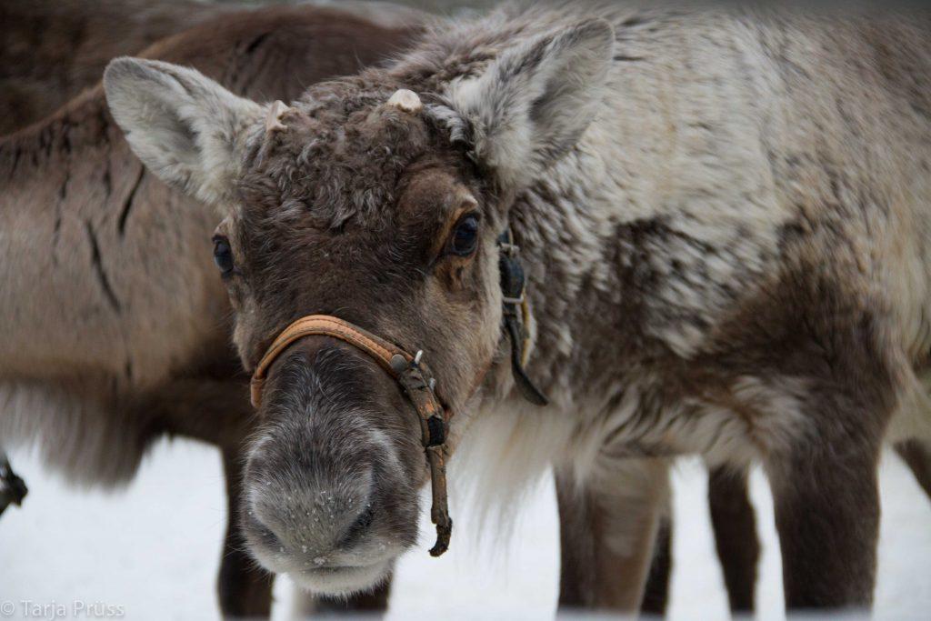 Rentiere in Lappland © Tarja Prüss   Tarjas Blog - Alles über Finnland