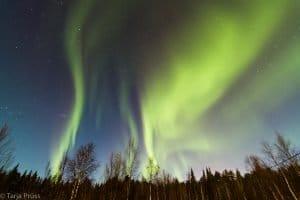 Finnland / Lappland: Northern Lights / Polarlichter / Aurora Borealis im Winter mit Bäumen © Tarja Prüss