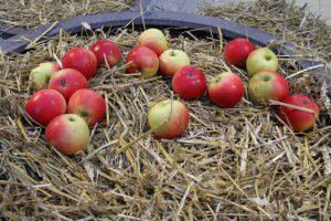 viele aepfel auf stroh