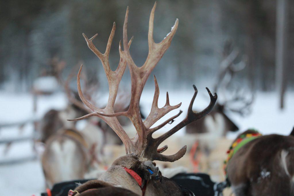 Rentierherde - großes Rentier Geweih ©Foto: Tarja Prüss | Tarjas Blog - Alles über Finnland