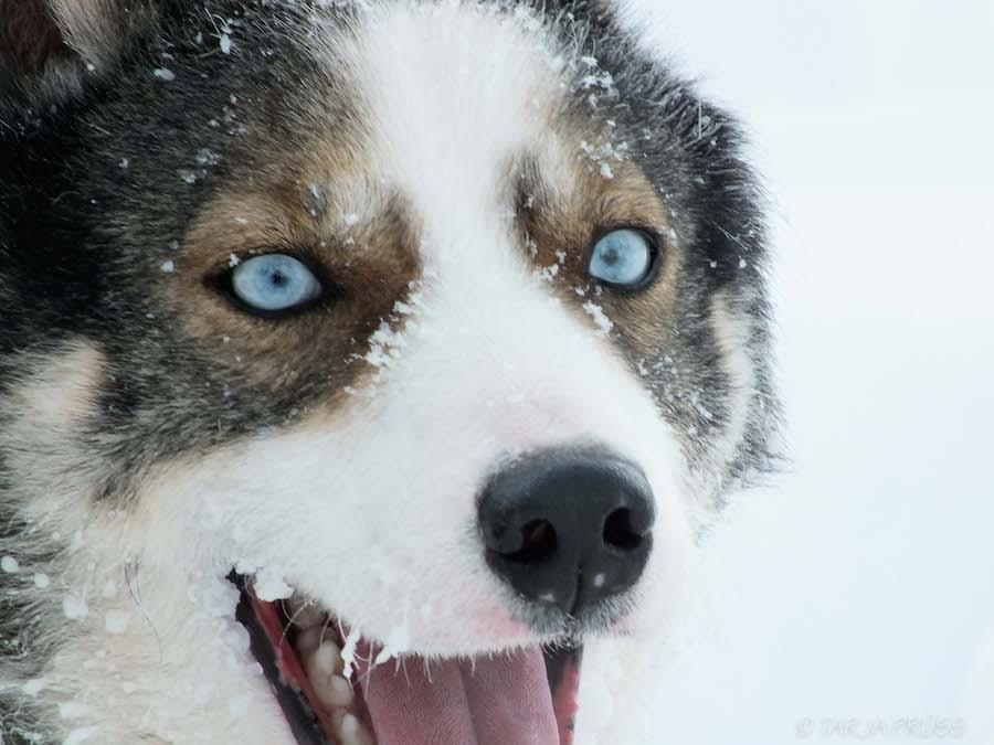 Husky mit Schnee im Gesicht ©Foto: Tarja Prüss | tarjas blog