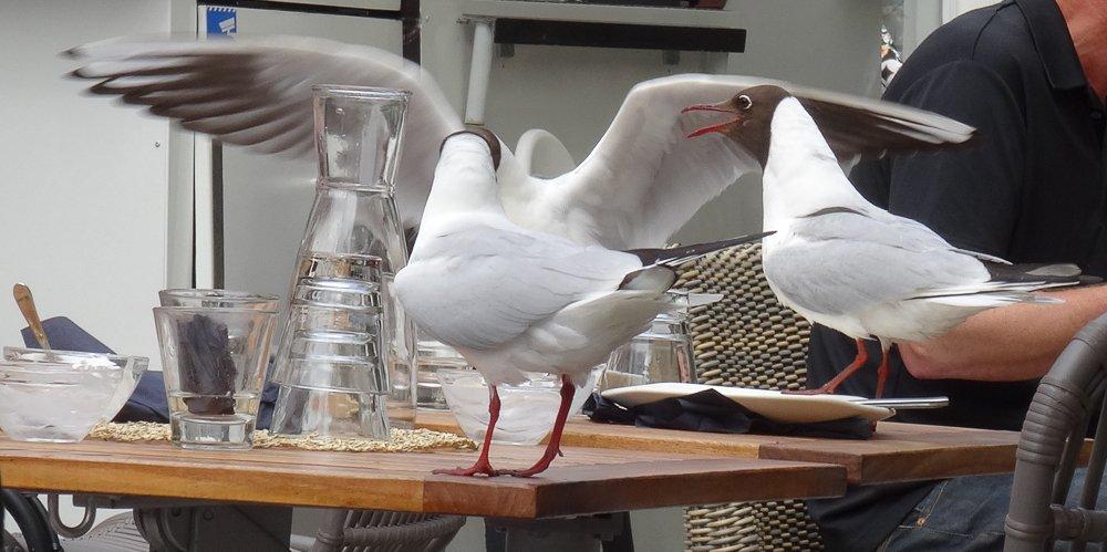 Möwen sitzen auf Café-Tisch, Turku, Finnland © Foto: Tarja Prüss