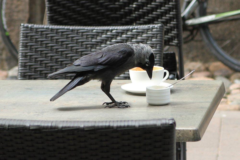 Krähe sitzt auf Café-Tisch, Turku, Finnland © Foto: Tarja Prüss