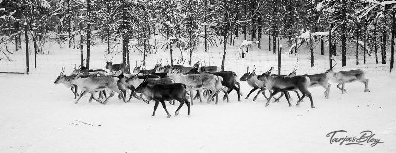 Rentier Herde in Finnisch Lappland. Rendeer herd in Lapland Finland ©Foto: Tarja Prüss