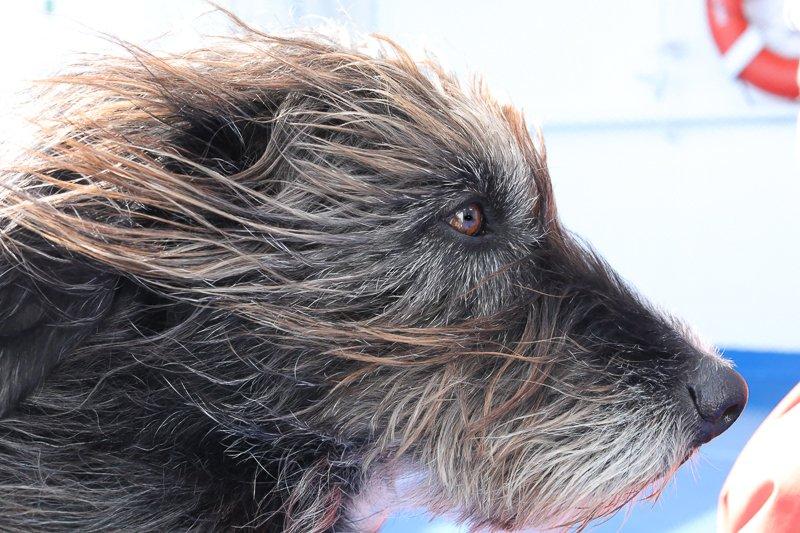 Hundedame Cora im Profil mit wehendem Fell. ©Foto: Tarja Prüss