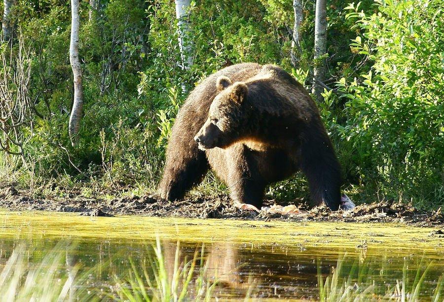 Bär in freier Wildbahn - Kuusamo Finnland @Foto: Tarja Prüss