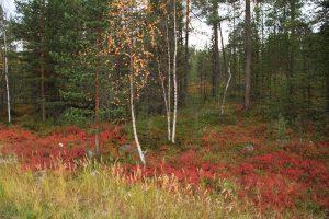 Wald in Lappland im Herbst mit rot gefärbten Pflanzen am Boden ©Foto: Tarja Prüss   Tarjas Blog