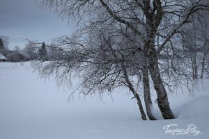 Baum-am-Ufer-des-jerisjaervi-lappland©TarjaPruess