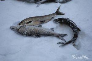 Winterfischen in Lappland: gefangene Fische liegen im Schnee ©TarjaPruess Tarjas Blog - Alles über Finnland