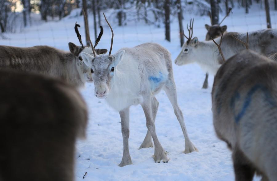 Rentiere in Lappland - Inari ©Foto: Tarja Prüss | Tarjas Blog - Reiseblog Finnland