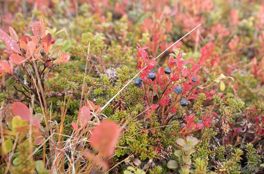 Blaubeeren im Wald - Herbst in Lappland ©Foto: Tarjas Blog - Reise Finnland