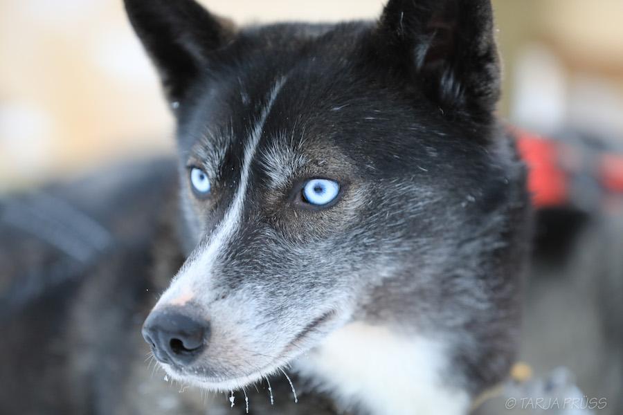 Schlittenhund mit blauen Augen