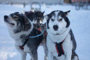 Schlittenhunde Loihakka - bei Oulu