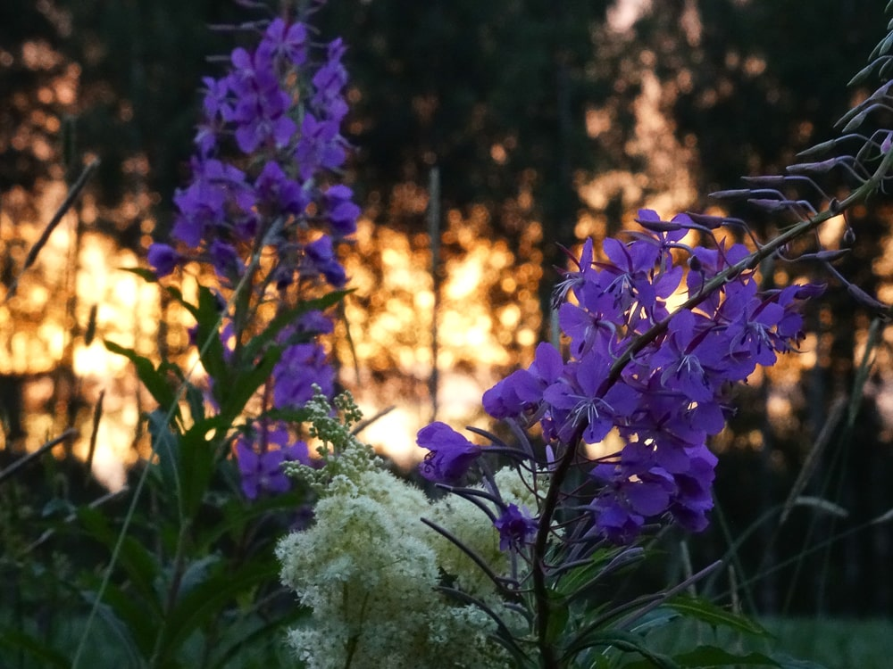 Mittsommer Blumen © Tarja Prüss   Tarjas Blog