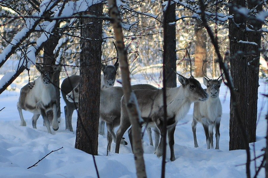 Rentiere in Lappland - Inari ©Foto: Tarja Prüss   Tarjas Blog - Reiseblog Finnland